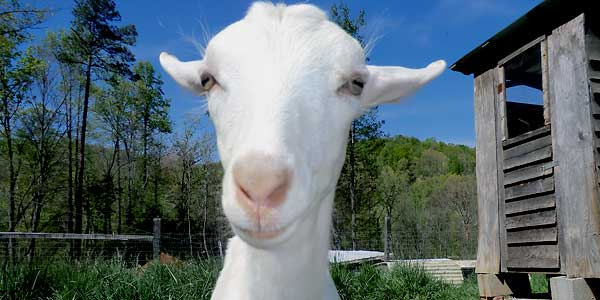 goat_smaller